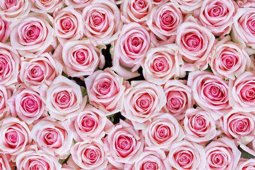Bild: AP XXL2 - Pink Roses - 150g Vlies (3 x 2.5 m)