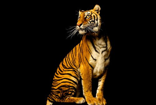 Bild: AP Digital - Tiger - SK Folie