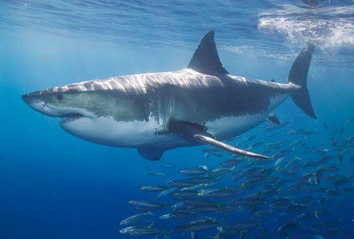 Bild: AP Digital - White Shark - SK Folie