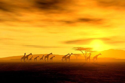 Bild: AP XXL2 - Giraffe In Savannah - SK Folie (2 x 1.33 m)