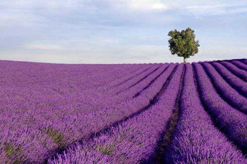 Bild: AP XXL2 - Lavender Field - SK Folie (2 x 1.33 m)