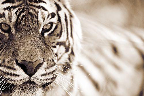 Bild: AP XXL2 - Tiger    - SK Folie