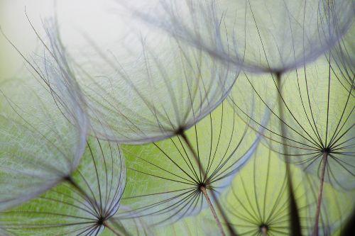 Bild: AP XXL2 - Dandelion - SK Folie (3 x 2.5 m)