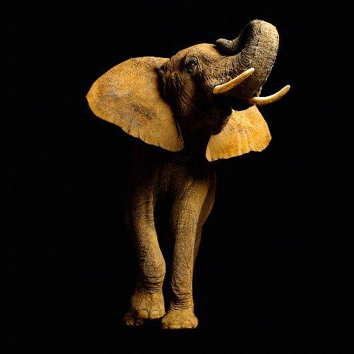 Bild: AP Digital - Elefant Font - 150g Vlies (4 x 2.67 m)