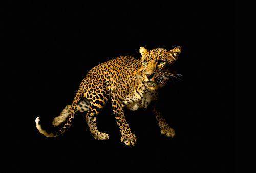 Bild: AP Digital - Leopard - 150g Vlies