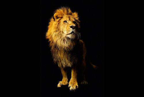 Bild: AP Digital - Lion - 150g Vlies (4 x 2.67 m)