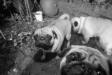 Bild: AP Digital - Puppy Dogs - 150g Vlies