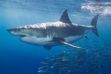 Bild: AP Digital - White Shark - 150g Vlies (4 x 2.67 m)