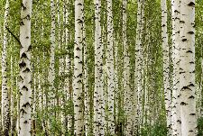 Bild: AP Digital - Birchwood - 150g Vlies (2 x 1.33 m)