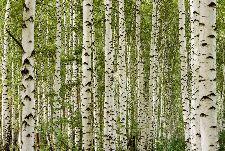 Bild: AP Digital - Birchwood - 150g Vlies (4 x 2.67 m)