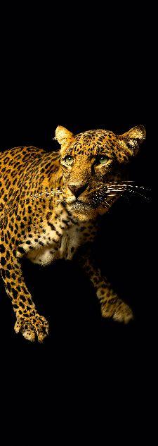 Bild: AP Panel - Leopard