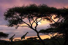 Bild: AP XXL2 - Giraffe At Sunset - 150g Vlies (2 x 1.33 m)