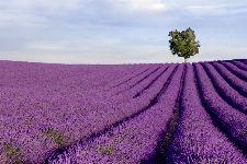 Bild: AP XXL2 - Lavender Field - 150g Vlies (5 x 3.33 m)