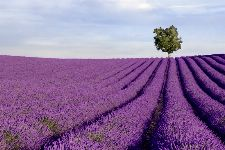 Bild: AP XXL2 - Lavender Field - 150g Vlies
