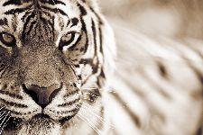 Bild: AP XXL2 - Tiger - 150g Vlies