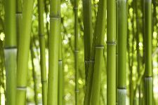 Bild: AP XXL2 - Bamboo In Daylight - 150g Vlies (4 x 2.67 m)