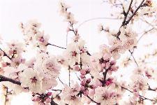 Bild: AP XXL2 - Cherry Blossom - 150g Vlies