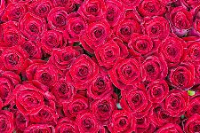 Bild: AP XXL2 - Red Roses - 150g Vlies (2 x 1.33 m)