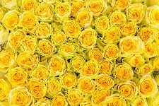 Bild: AP XXL2 - Yellow Roses - 150g Vlies (2 x 1.33 m)