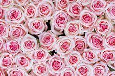 Bild: AP XXL2 - Pink Roses - 150g Vlies (4 x 2.67 m)