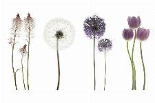 Bild: AP XXL2 - Purple Flower OW - 150g Vlies (2 x 1.33 m)