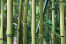 Bild: AP Digital - Bamboo - SK Folie (4 x 2.7 m)