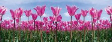Bild: AP Digital - Tulip Forest - SK Folie (2 x 1.33 m)
