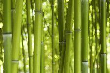 Bild: AP XXL2 - Bamboo In Daylight - SK Folie (3 x 2.5 m)