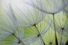 Bild: AP XXL2 - Dandelion - SK Folie (2 x 1.33 m)