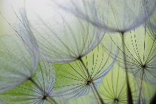 Bild: AP XXL2 - Dandelion - SK Folie (4 x 2.67 m)