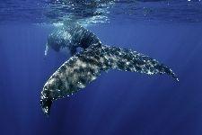 Bild: AP XXL2 - Whale Fin - SK Folie (2 x 1.33 m)
