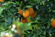 Bild: AP XXL2 - Orange Tree - SK Folie (3 x 2.5 m)