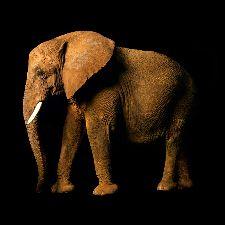 Bild: AP Digital - Elefant Side - 150g Vlies (3 x 3 m)