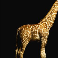 Bild: AP Digital - Giraffe - 150g Vlies